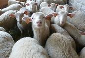 owce, jagnięta 4