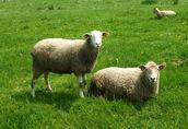 owce, jagnięta 5