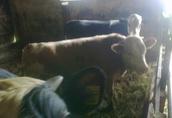 3 byk mięsne 350kg. (cena do negocjacji)  2