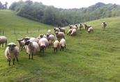 Owce cale stado