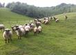 Owce Całe stado likwidacja hodowli