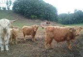 Highland trzyletni byk