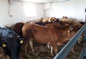 byki, byczki, jałówki 150-300 kg, SPRZEDAŻ, STĘPNIAK 2
