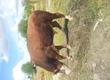 Byki rozpłodowe Mam do sprzedania byki do rozp