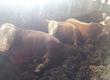 Byki na ubój sprzedam byki opasowe powyżej 700