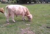 Highland trzyletni byk  1