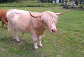 Highland trzyletni byk  2