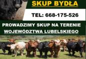 Skup Bydła (krowy wysoka cena !!!)