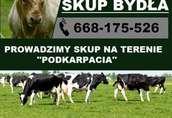 Skup Bydła Rzeźnego (krowy wysoka cena)