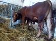 Byki rozpłodowe Do sprzedania byk mięsny w wieku
