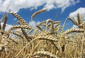 Len zwyczajny BHZ Agromat kupi zboża ekologiczne oraz w konwersji...