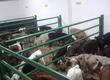 Cielaki i opasy W ciągłej sprzedaży byczki ja