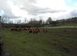 Krowy Stado bydła szkockiego: byk zarodowy