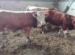 Cielaki i opasy Sprzedam byczki simentale 100
