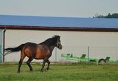Ogier z licencją na krycie klaczy NURT hucuł koń