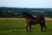 Ogier z licencją na krycie klaczy NURT hucuł koń 1