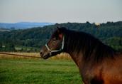 Ogier z licencją na krycie klaczy NURT hucuł koń 3