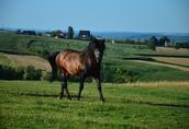 Ogier z licencją na krycie klaczy NURT hucuł koń 4