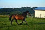 Ogier z licencją na krycie klaczy NURT hucuł koń 5