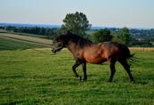Ogier z licencją na krycie klaczy NURT hucuł koń 7
