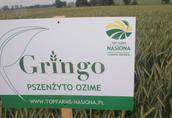 Kwalifikowany materiał siewny zbóż ozimych