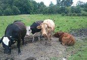 Krowy 2