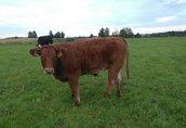 Krowy 4