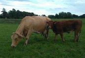 Krowy 5