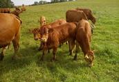 Odsadki byczki, cielaki