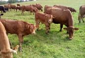Odsadki byczki, cielaki  1
