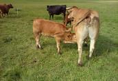Odsadki byczki, cielaki  2