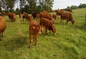 Odsadki byczki, cielaki  4