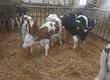 Cielaki i opasy Sprzedam byczki nowa dostawa cena