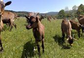 Sprzedam z hodowli młode kozy rasy alpejskiej-górskiej