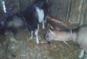 Sprzedam Kozę i kozła