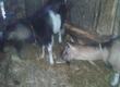 Kozy Sprzedam kozę i kozła