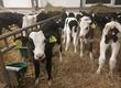 Cielaki i opasy Sprzedam byczki krzyżówki MM oraz