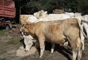 CHAROLAISE BYK JAŁÓWKA,Opasy, bydło mięsne,odsadki,Charolaise, 45sztuk 1