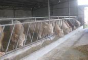 Byki mięsne na ubój