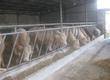 Byki na ubój Sprzedam bydło mięsne charolaise