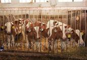 Byki byczki mięsne NCB cielaki nowa dostawa
