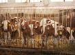 Cielaki i opasy Sprzedaż byczków detaliczna i hurtowa