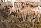 Byki byczki mięsne NCB cielaki nowa dostawa 1