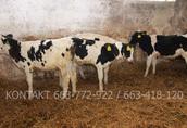 Byki byczki mięsne NCB cielaki nowa dostawa 3