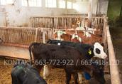 Byki byczki mięsne NCB cielaki nowa dostawa 4