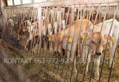 Byki byczki mięsne NCB cielaki nowa dostawa 5
