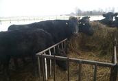 ANGUS CZARNY krowy mamki cielne