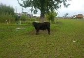 Angus czarny, rozpłodnik, buhaje, byki, odsadki, cielaki,