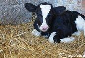 Młode jałówki hodowlane ras mlecznych HF - DOBRA CENA