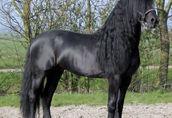 czystej krwi fryzyjski koń Ogier